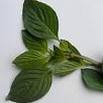 Zoete basilicum